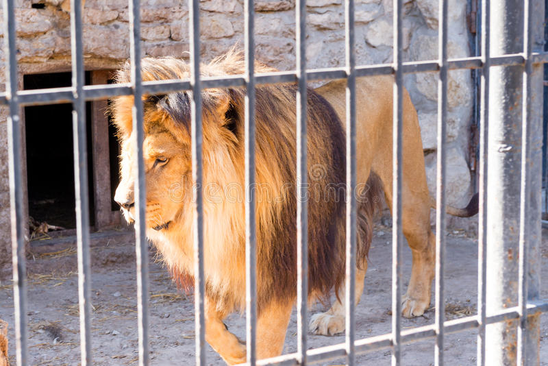 Il leone è il re delle bestie nella cattività in uno zoo dietro le barre Potere ed aggressione nella gabbia immagini stock libere da diritti