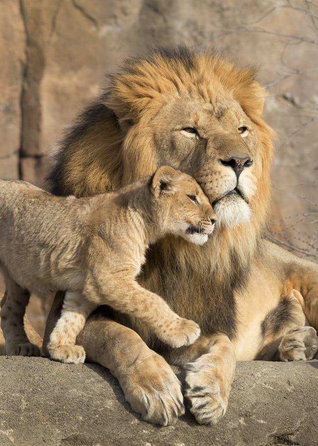 Il leone africano maschio è stretto a sé dal suo cucciolo durante il momento affettuoso fotografia stock