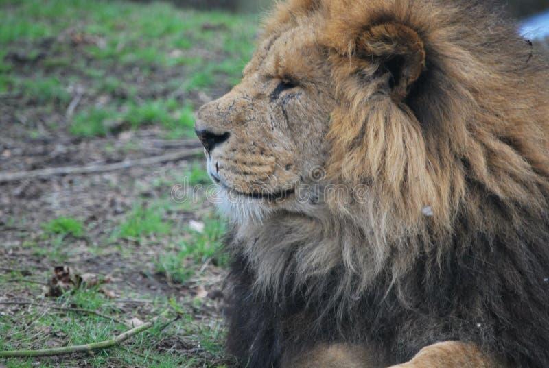 Il leone africano nel parco di safari fotografie stock libere da diritti