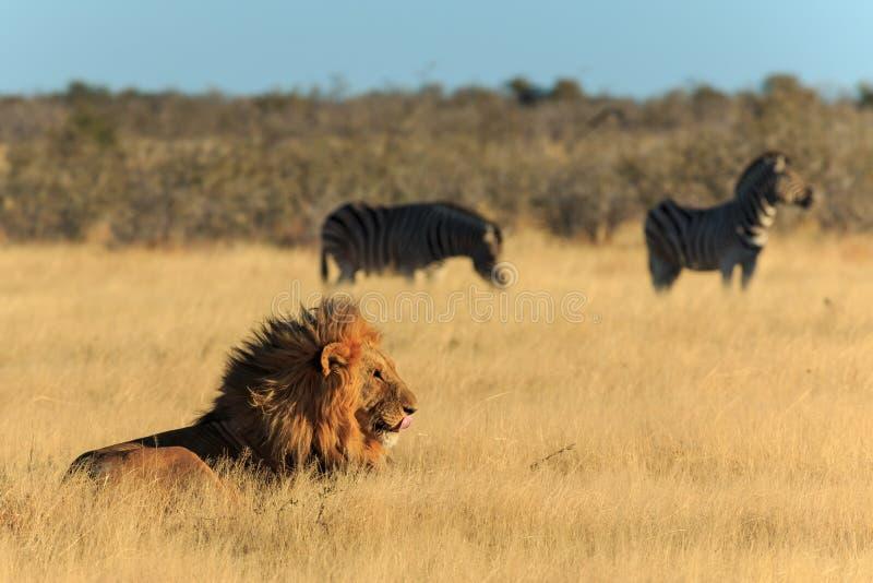 Il leone che lecca il suo bocca, fondo delle zebre ha timore del tassello di legno fotografie stock