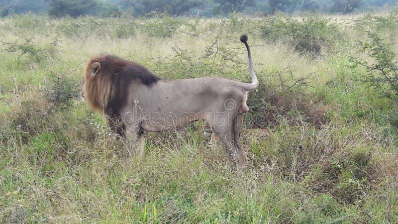 Il leone che marca il suo territorio non vuole altri uomini intorno alla sua zona fotografia stock libera da diritti
