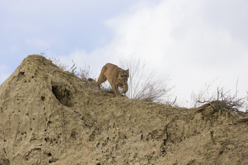 Il leone di montagna sopra vaga in cerca di preda fotografia stock