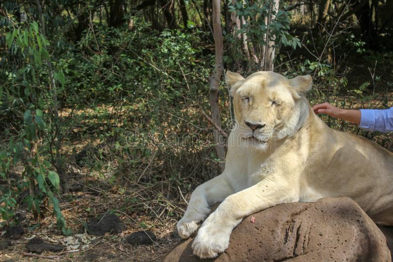 Il leone ha bisogno di tenero, amando, cura Su una passeggiata del leone nel parco della fauna selvatica delle Mauritius immagine stock libera da diritti