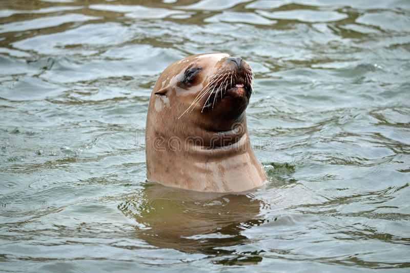 Il leone marino di Steller sembra al disopra della superficie ed attaccarlo è lingua fuori immagine stock libera da diritti