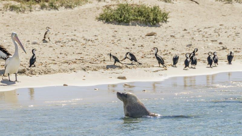Il leone marino esce dall'acqua osservata dai pellicani e dai cormorani sulla spiaggia sabbiosa dell'isola del pinguino, Rockingh fotografia stock libera da diritti