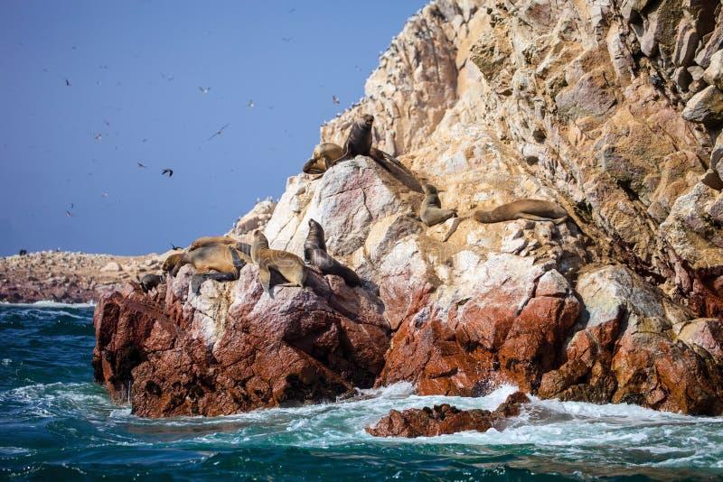 Il leone marino patagonian, flavescenson di Otaria oscilla nel Pacifico, Perù fotografie stock