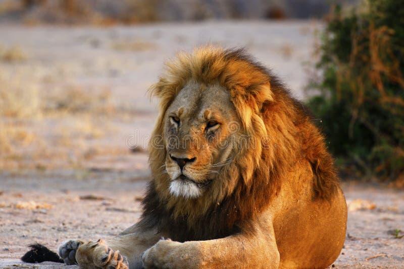 Il leone maschio adulto superbo conduce l'orgoglio immagini stock libere da diritti