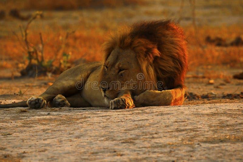 Il leone maschio adulto superbo conduce l'orgoglio immagini stock