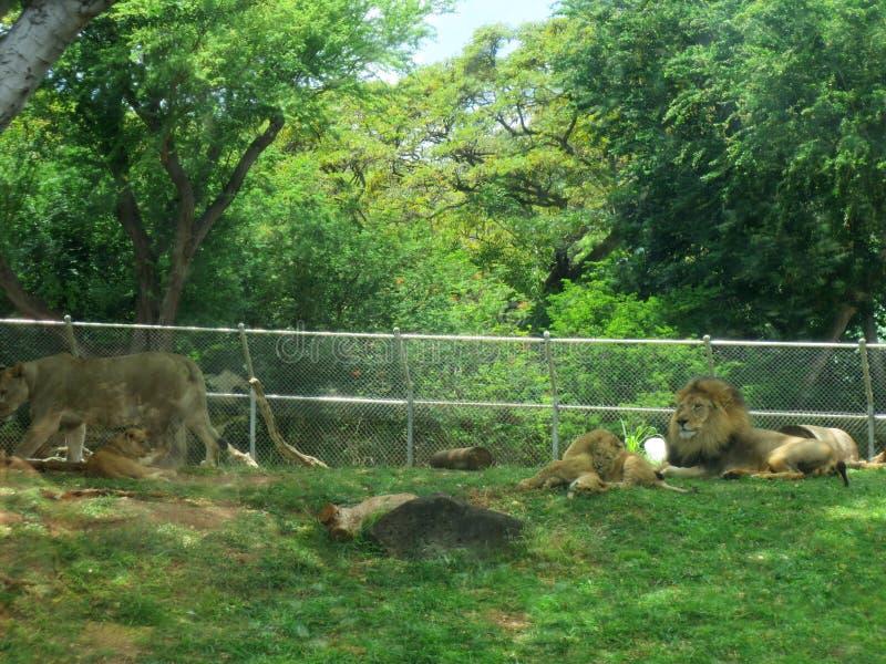 Il leone maschio riposa con i cuccioli mentre giocano nell'erba ed il leone femminile si allontana fotografie stock