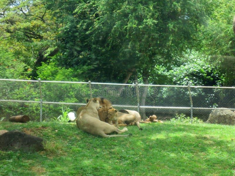 Il leone maschio riposa con i cuccioli mentre si rannicchiano ed orologi femminili del leone più fotografia stock