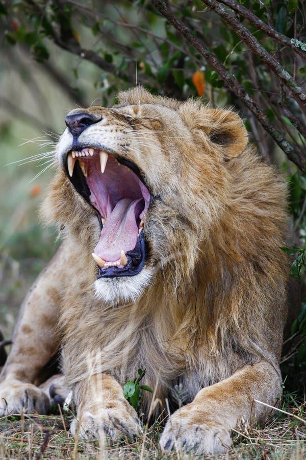 Il leone maschio sonnolento che sbadiglia, ampiamente apre la bocca Fine in su fotografia stock libera da diritti