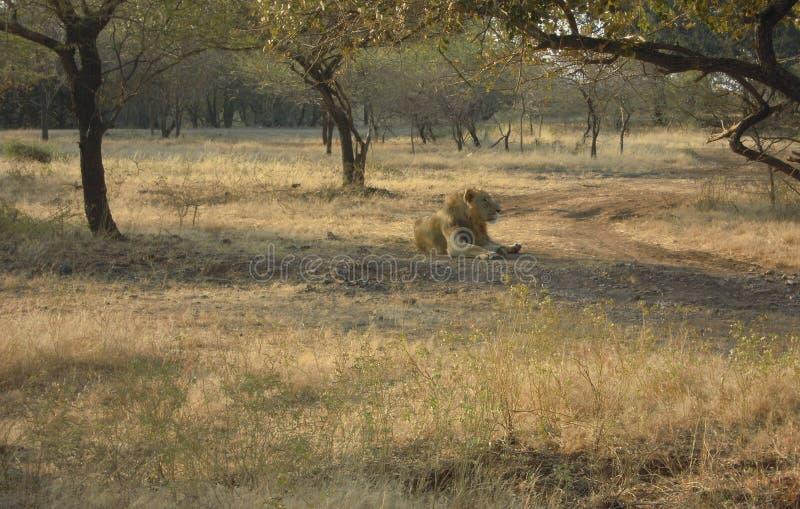 Il leone, un re della foresta fotografie stock