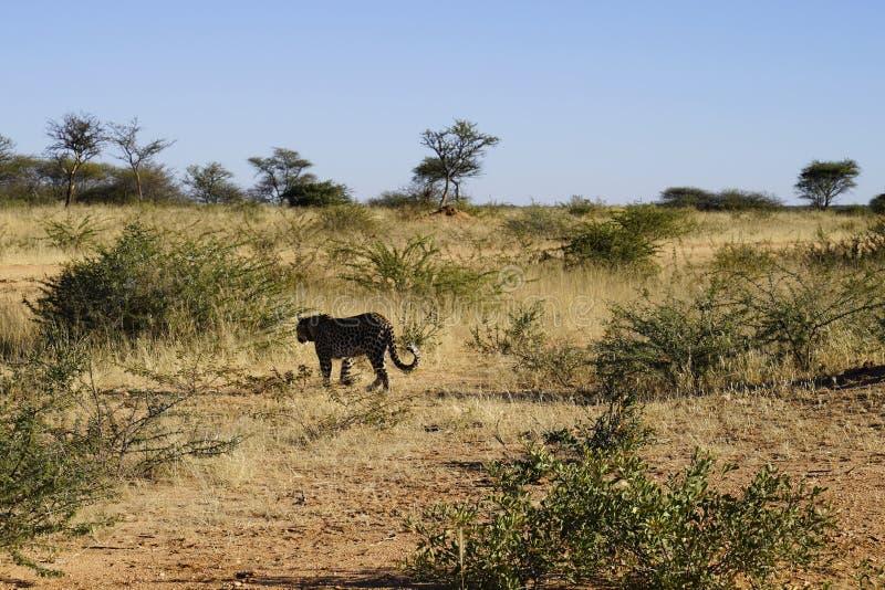 Il leopardo africano sgattaiola attraverso erba asciutta ed imbussola un'ombra scura alla luce solare luminosa di mattina alla ri fotografie stock libere da diritti