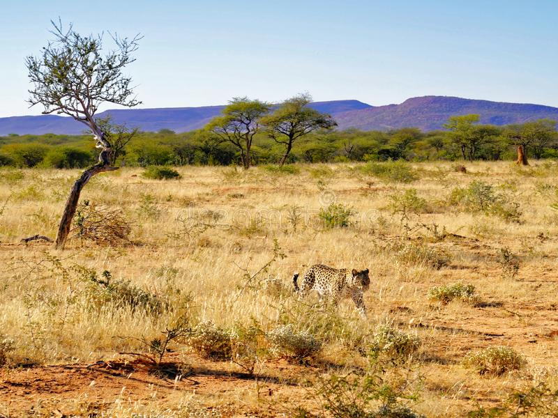 Il leopardo africano si avvicina a attraverso erba asciutta e la Bush-prateria sudafricana con le montagne porpora dietro alla ri immagini stock libere da diritti