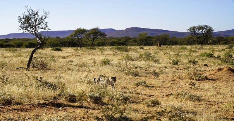 Il leopardo africano si avvicina a attraverso erba asciutta ed il cespuglio con le montagne porpora dietro alla riserva naturale  immagini stock
