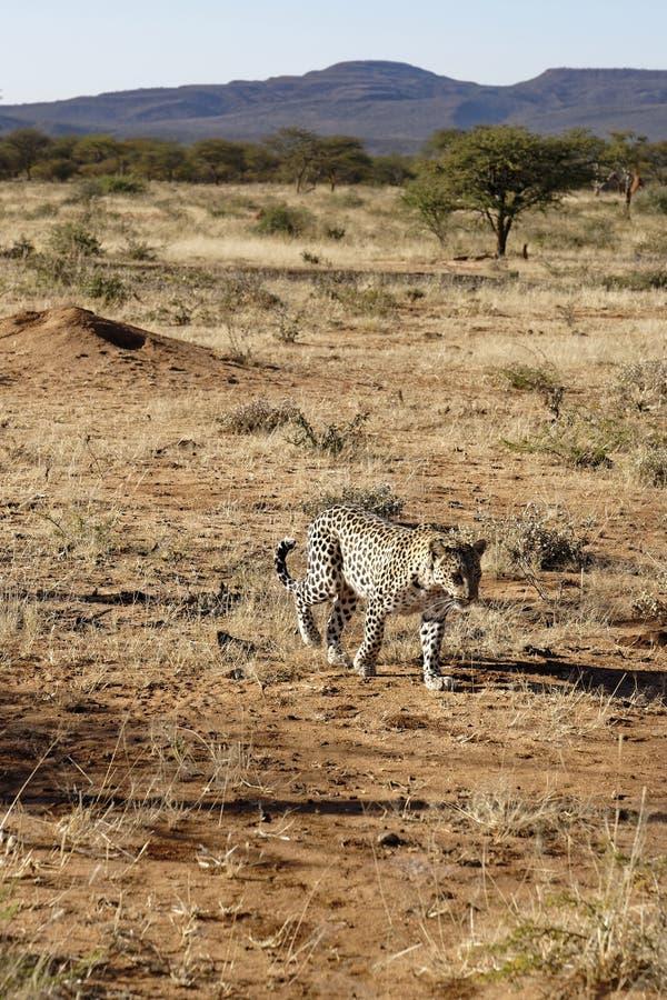 Il leopardo africano si avvicina a in erba asciutta con gli alberi degli alberi dell'acacia e le montagne porpora dietro alla ris fotografie stock libere da diritti