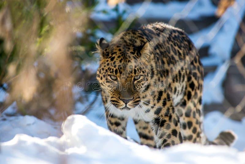 Il leopardo dell'Estremo-Oriente nell'inverno il predatore è un animale pericoloso fotografia stock