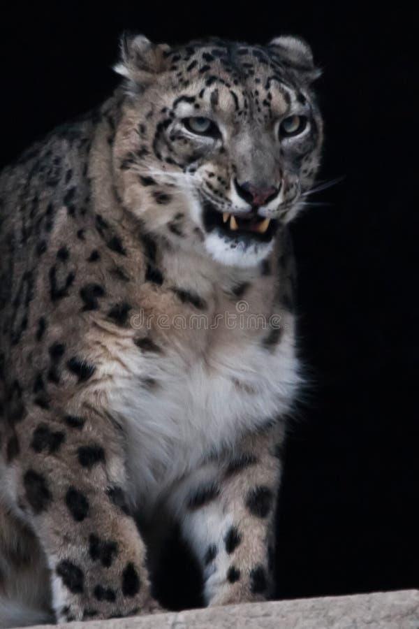 Il leopardo delle nevi ringhia minaccioso su un fondo nero, la metà anteriore del corpo è un primo piano, arrabbiato e pericoloso fotografia stock