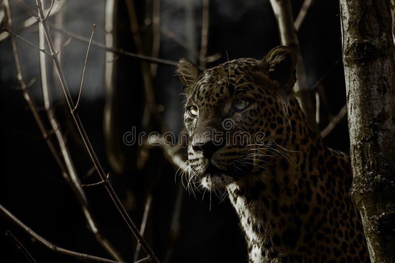 Il leopardo in foresta nella notte sta cercando immagini stock