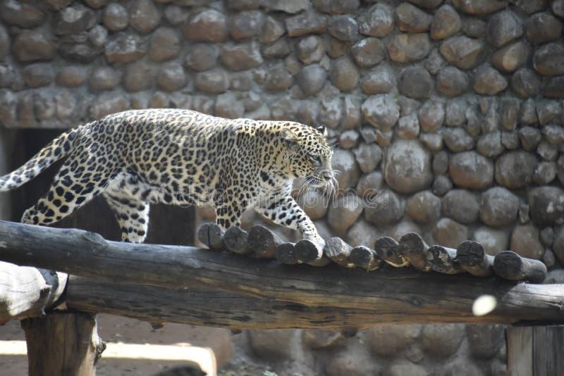 il leopardo sembra spaventoso quando cerca immagine stock