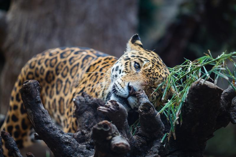 Il leopardo sfrega contro il ramo di albero in Tenerife, Spagna fotografie stock libere da diritti
