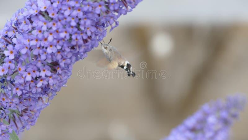 Il lepidottero di falco dell'uccello di ronzio fotografia stock