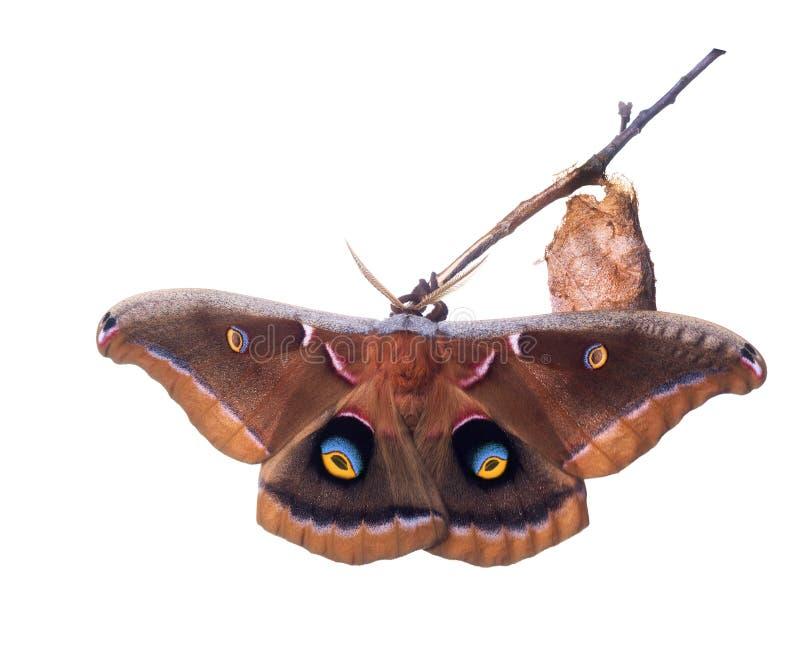 Il lepidottero di polyphemus, l'antheraea polyphemus Cramer, è uno dei nostri più grandi e più bei lepidotteri di seta Farfalla a fotografie stock