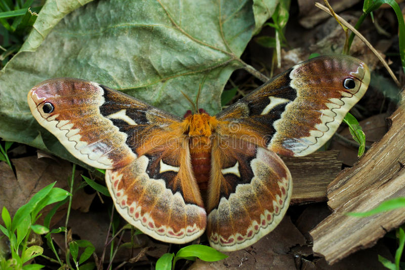 Il lepidottero di seta del Glover; Hyalophora Gloveri immagine stock libera da diritti