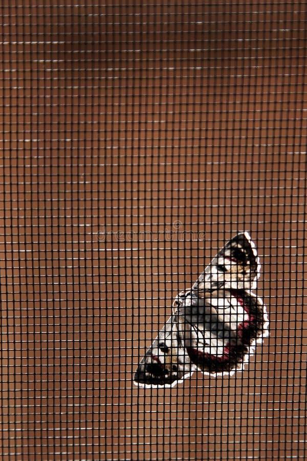 Il lepidottero sopra flyscreen fotografie stock