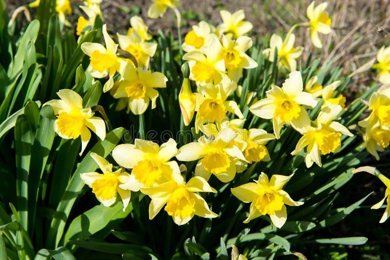 Il letto di fiore con il narciso giallo fiorisce la fioritura in primavera, fiori della primavera, floreali, primaverine fotografie stock