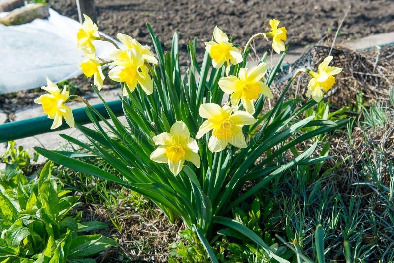 Il letto di fiore con il narciso giallo fiorisce la fioritura in primavera, fiori della primavera, floreali, primaverine fotografie stock libere da diritti