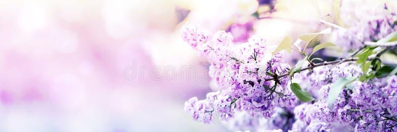 Il lillà fiorisce il fiore della molla immagine stock libera da diritti