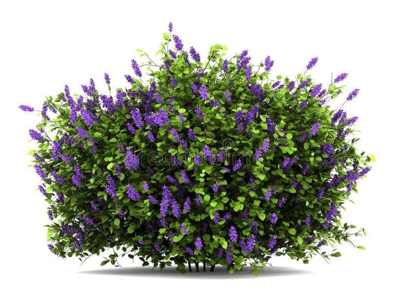 Il lillà fiorisce il cespuglio isolato su bianco immagine stock libera da diritti