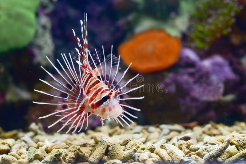 Il Lionfish è un gruppo di specie tossiche del pesce di mare incorporate nel genere Pterois fotografie stock