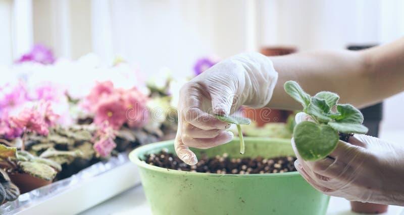 Il lorist femminile rimuove le foglie in eccesso delle viole Crescita viola come svilupparsi viola immagini stock