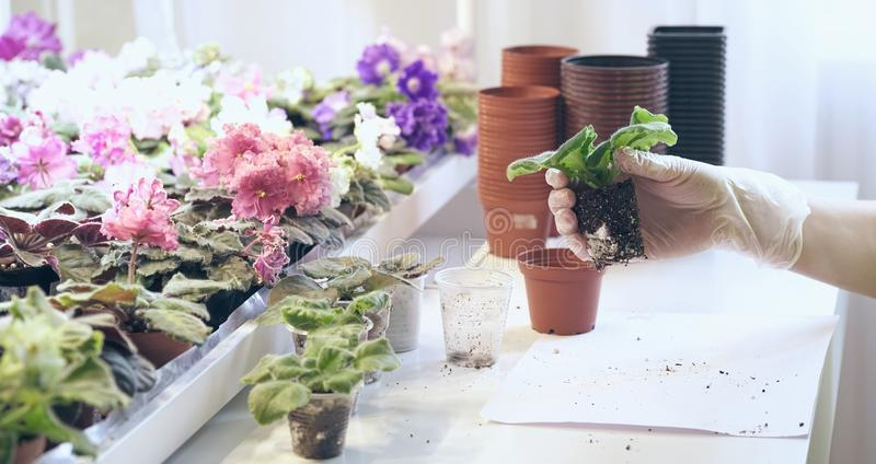 Il lorist femminile rimuove le foglie in eccesso delle viole Crescita viola come svilupparsi viola Preparazione delle piante o de fotografia stock libera da diritti