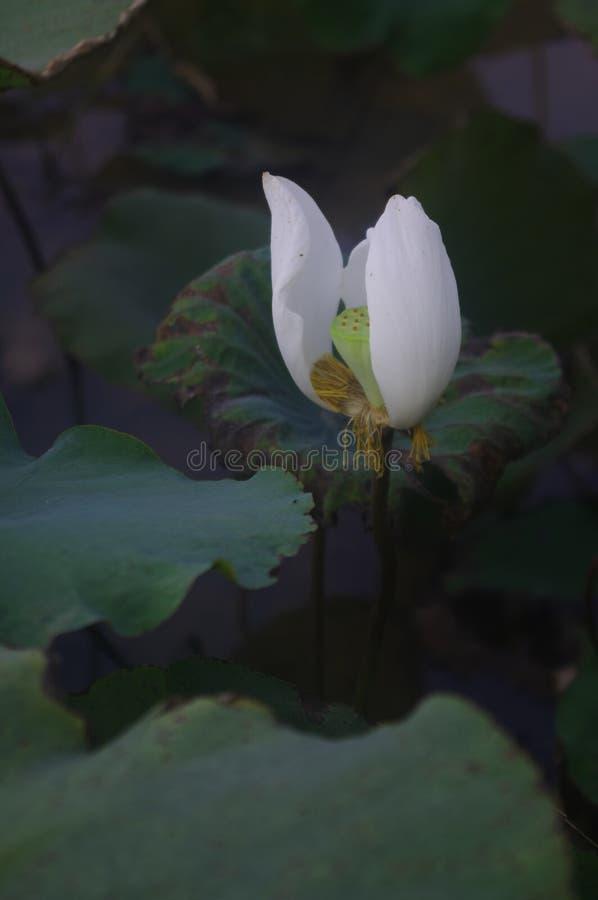 Il loto bianco che ha cominciato ad appassire fotografia stock
