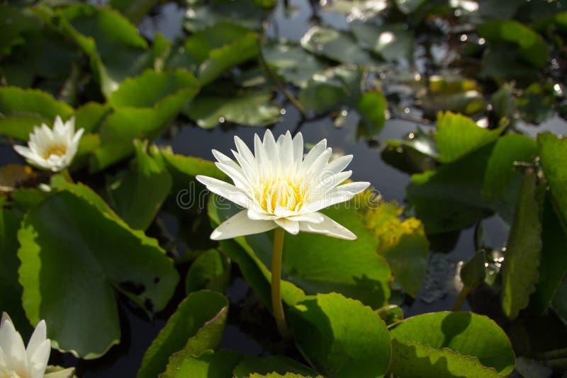 Il loto bianco significa la pulizia in mente fotografia stock libera da diritti