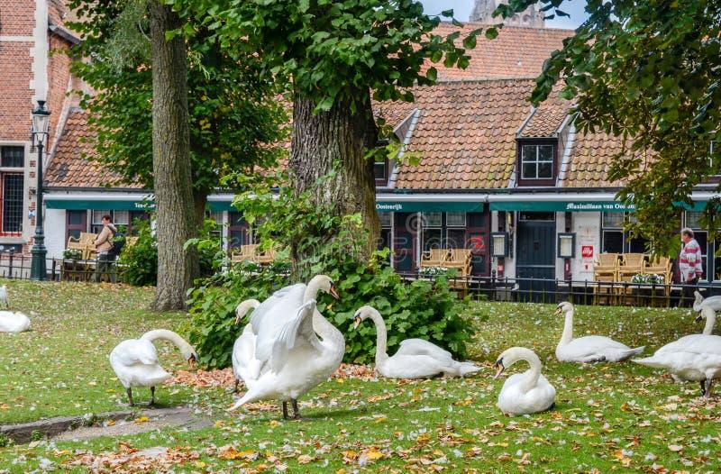 Il lotto dei cigni riposa su erba nel centro storico di Bruges, bel fotografia stock libera da diritti