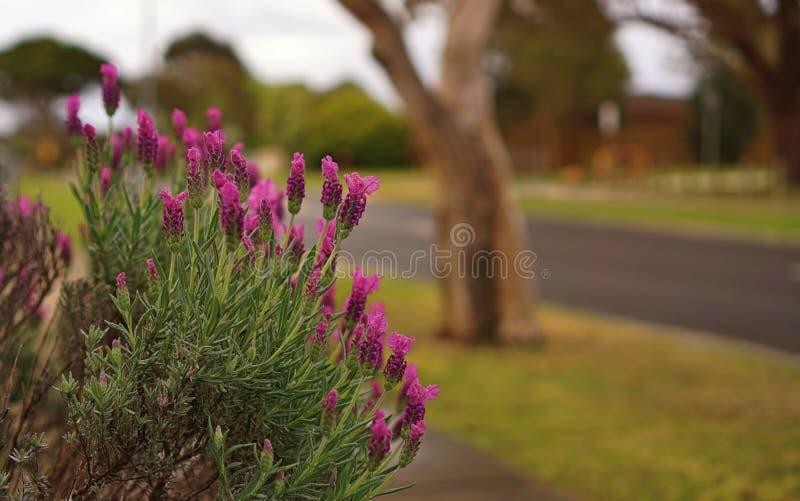 Il lupino porpora fiorisce simile a lavanda fotografie stock