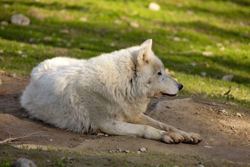 Il lupo artico, arctos di canis lupus, è bianco a colori immagini stock