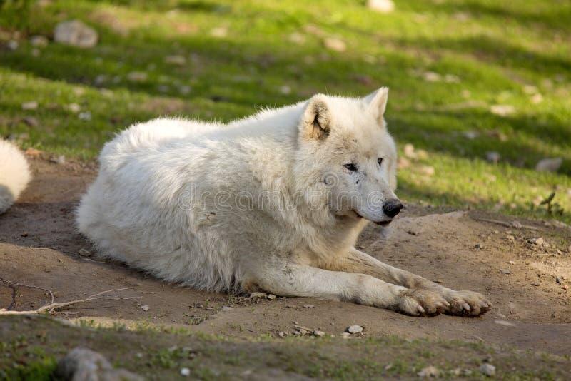 Il lupo artico, arctos di canis lupus, è bianco a colori immagini stock libere da diritti