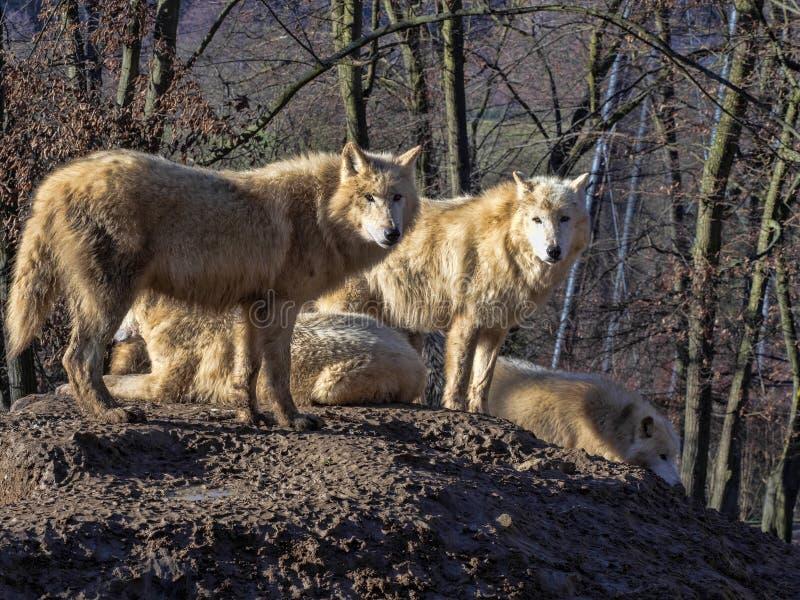 Il lupo artico, arctos di canis lupus, è un cacciatore temuto, vite nei pacchetti immagini stock libere da diritti