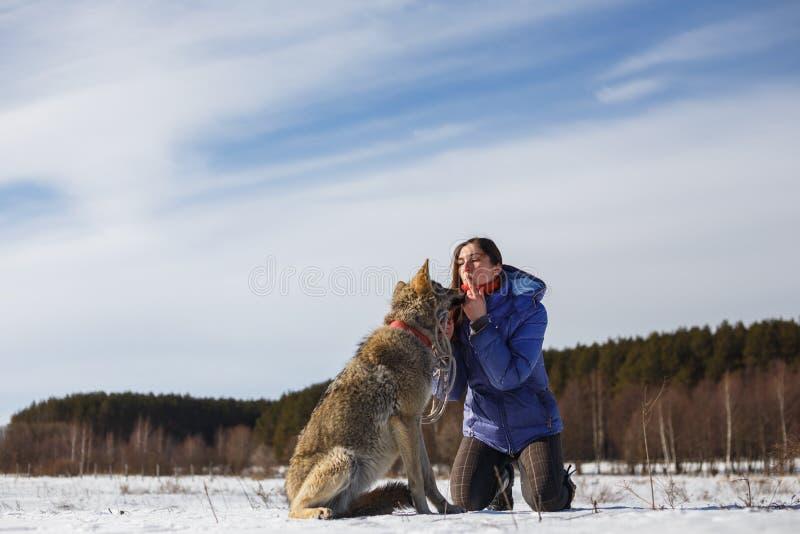 Il lupo grigio bacia la ragazza sulle labbra Campo di Snowy vicino alla foresta immagine stock libera da diritti