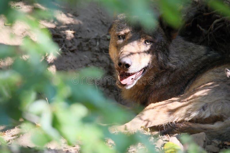 Il lupo iberico, signatus di canis lupus, è minacciato per l'estinzione fotografia stock libera da diritti