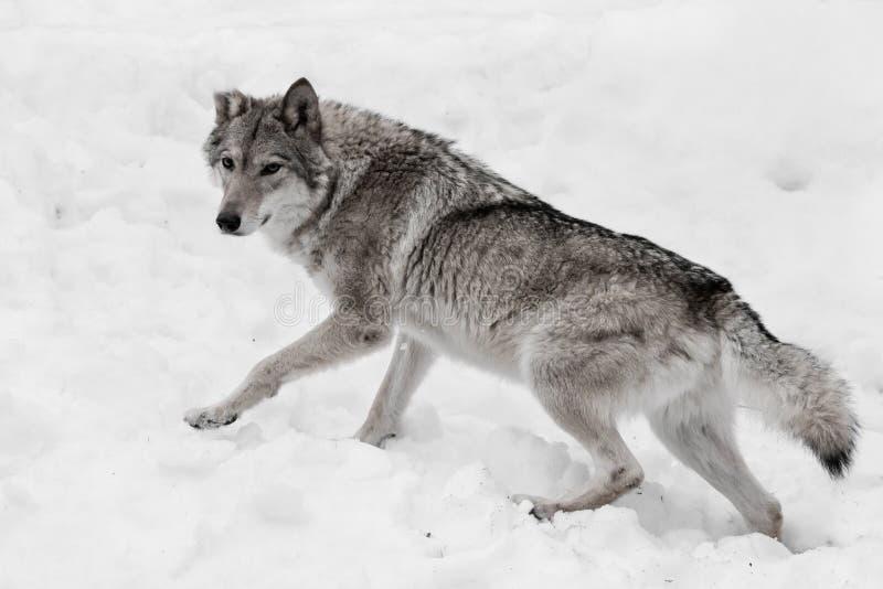 Il lupo maturo potente ed agile passa rapidamente la neve, primo piano fotografia stock