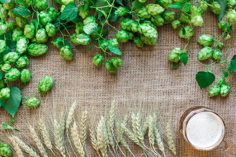 Il luppolo fresco verde con grano e la birra come copia spaziano l'area di blocco di testo sul fondo della tela di sacco immagine stock