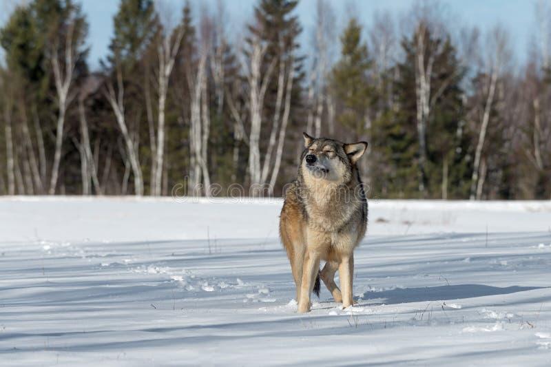 Il lupus di Grey Wolf Canis alza gli occhi capi chiusi l'inverno immagine stock libera da diritti