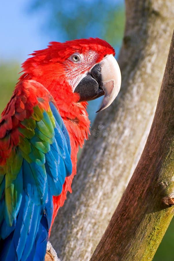 Il macaw di prato (chloroptera del Ara) fotografia stock libera da diritti