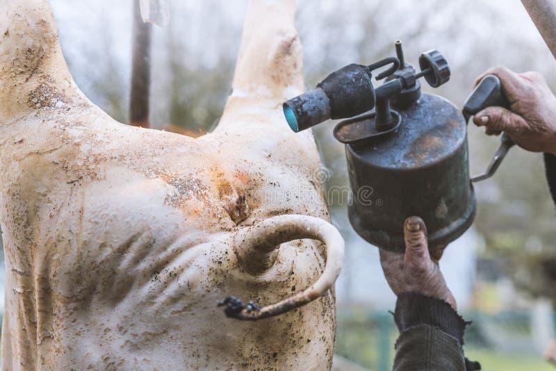Il macellaio tratta il maiale macellato con la torcia per saldature, depilazione, caduta su un treppiede, preparazione al taglio, immagine stock